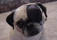 Pug_one_eye