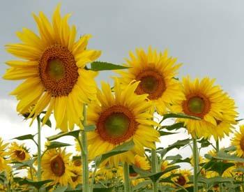 Sunflowersfeb2327